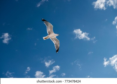 sea gull bird flying view from below, on clear blue sky