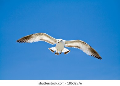 A sea gull in flight with wings spread on very blue sky.