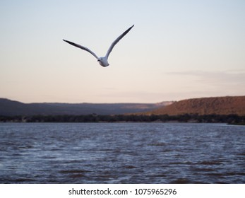 Sea gull flying with Murchison River in the background, Kalbarri, Western Australia