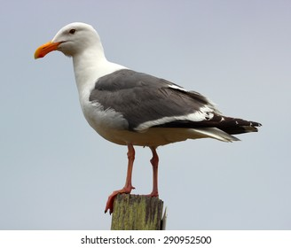 Sea Gull with a Gray Background, taken in California