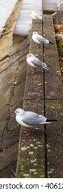 Sea Gull Laridae Group Staning In Line Next To River