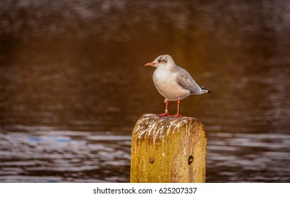Sea gull on post in pond