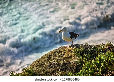 A sea gull perched on the edge of a cliff on the coast of La Jolla beach with its little chick below it gazing off towards the ocean in San Diego, California, United States.