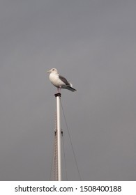 Sea gull sitting on the top of the ship mast and looking at you on dark grey stormy sky background