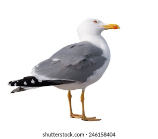 sea gull standing on his feet. seagull . Isolated over white