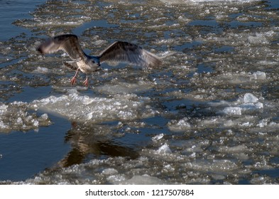 Sea gull starting from ice floe