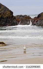 Sea gulls bathing in fresh water tide pools at Seal Rock beach,  Newport, Oregon