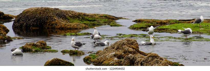 Sea gulls bathing in fresh water tide pools at Seal Rock beach,  Newport, Oregon
