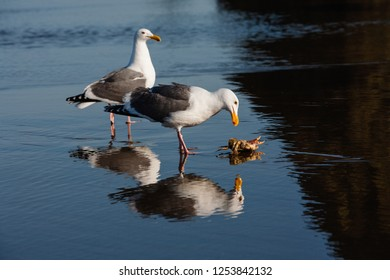 Sea Gulls feasting on a Dungeness crab on the Oregon coast at Canon Beach.  Perfect reflection in the wet sand