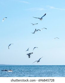sea gulls  fly over lake Michigan in the USA