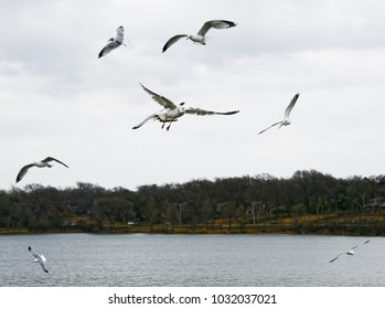 Sea Gulls flying at eye level in a loose formation over White Rock Lake in Dallas, Texas