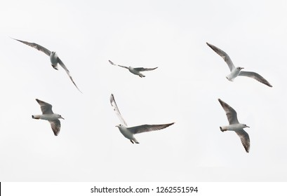sea gulls flying. seagull fly in different shapes and directions