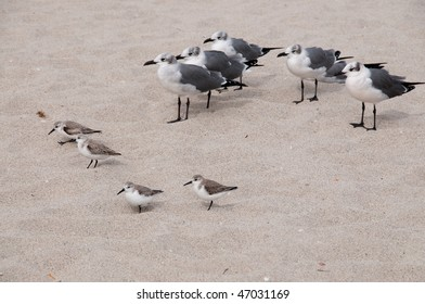 Sea gulls and San Pipers on the beach