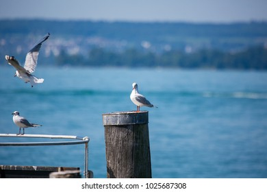 Sea gulls sitting on a fence at lake constance in southern Germany