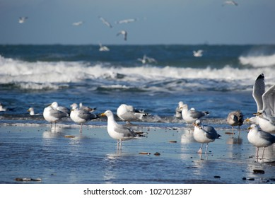 Sea Gulls in winter at isle Texel, the Netherlands. Europe