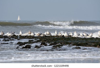 Sea Gulls in winter at isle Texel, the Netherlands. Europe.