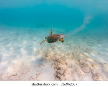 Sea hawksbill turtle swimming in clear caribbean sea