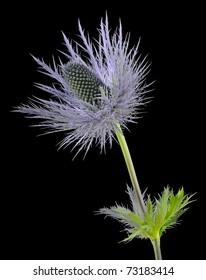 """Sea Holly"" (Eryngium Bourgatii x Alpinum) - Apiaceae"