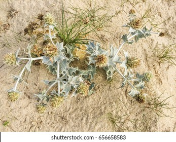 Sea holly or seaside eringo flower, Eryngium maritimum, is a plant of the family Apiaceae growing on the coastal dunes of Arousa Island