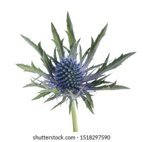 Sea holly thistles isolated on white background