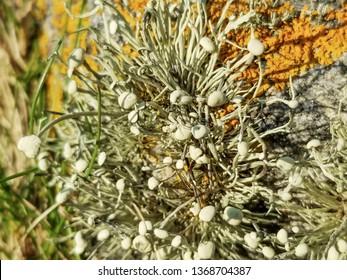 Sea ivory lichen. Ramalina siliquosa, growing in Galicia, Spain