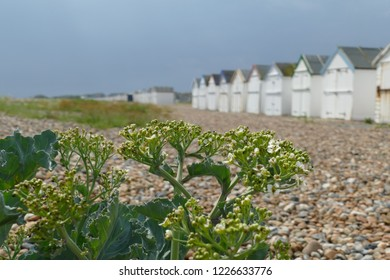 Sea kale, crambe maritima, in the foreground with a pebble beach and beach huts in the background against a grey sky. Goring by Sea, West Sussex, UK