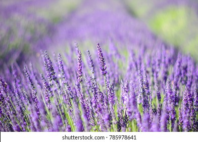 sea of lavender flowers focused on one in the foreground