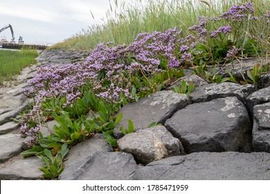 Sea lavender (Limonium vulgare) Ameland Netherlands