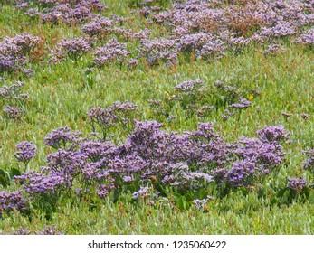 Sea Lavenders on the salt marsh. East Frisian Island Baltrum in the North Sea