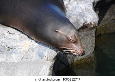 seelöwe sea lion