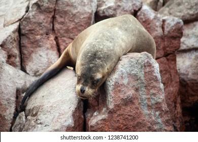 A sea lion along the rocky coast slumps over a rock as if totally exhausted. concept.
