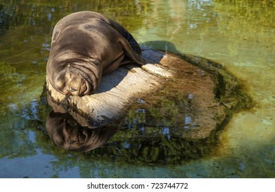 sea lion asleep on a flat stone, water reflection