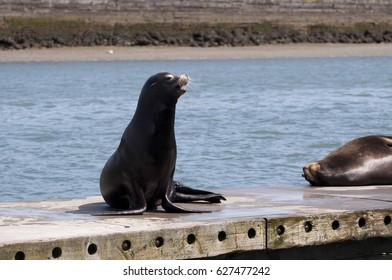 A sea lion barks on the docks in West Port, WA, USA.