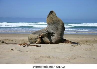 Sea Lion at the beach