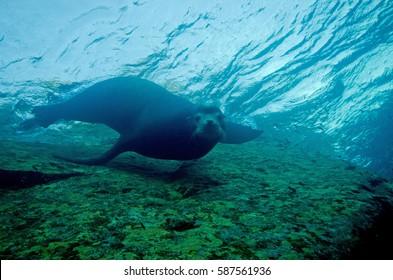 A Sea Lion at Cabo Pulmo in the Sea of Cortez