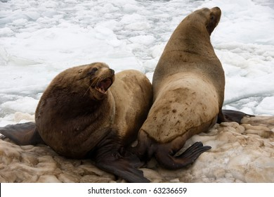 sea lion, also called a  fur seal, beside coast of the kamchatka