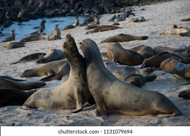 Sea lion colony on beach Puerto Ayora Santa Cruz Galapagos Islands