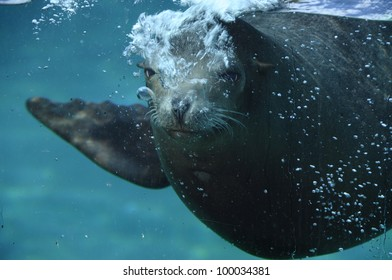 Sea lion or eared seal animal underwater in aquarium and air bubbles