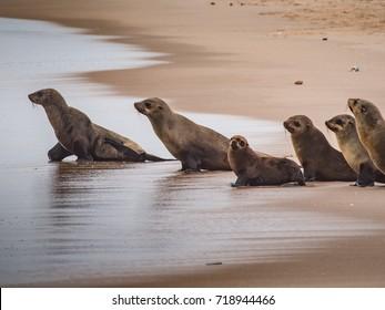 sea lion (Eumetopias jubatus)