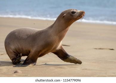 Sea lion, Galapagos