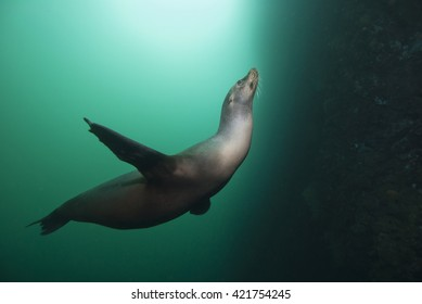Sea Lion in green water with sun in the background.