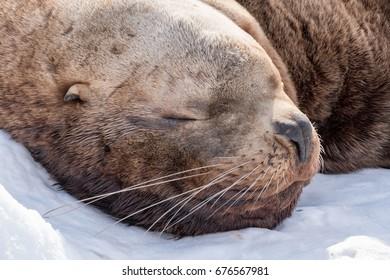 Sea Lion, head portrait
