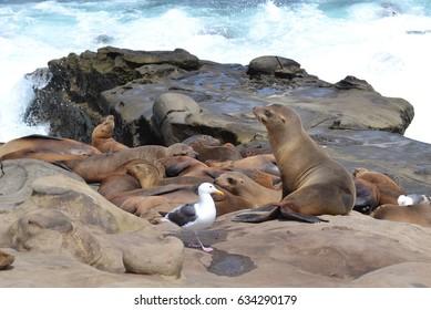 Sea lion at La Jolla Cove