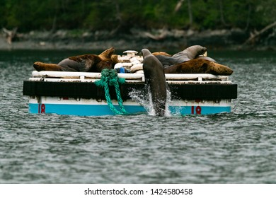 Sea Lion leaping out of the water on to a boat mooring