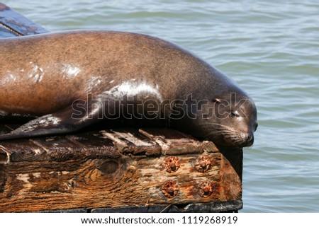 A sea lion lies