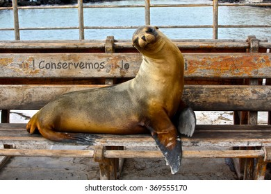 A sea lion lies on a bench on the island of San Cristobal in the Galapagos Islands, Ecuador
