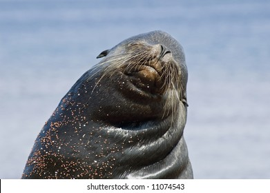 Sea Lion male