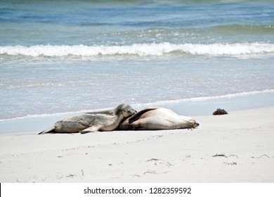 the sea lion is nursing her young pup on a beach at Seal Bay
