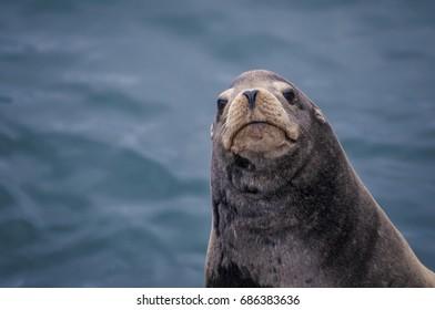 Sea Lion Off the Oregon Coast