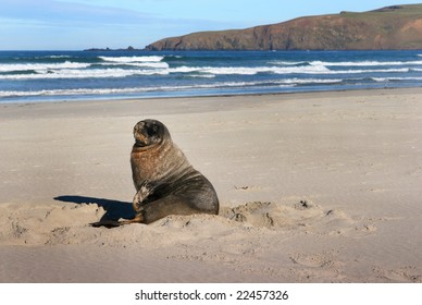 Sea lion on a beach on the Otago Peninsula, New Zealand